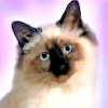 Birman Cat T-Shirts