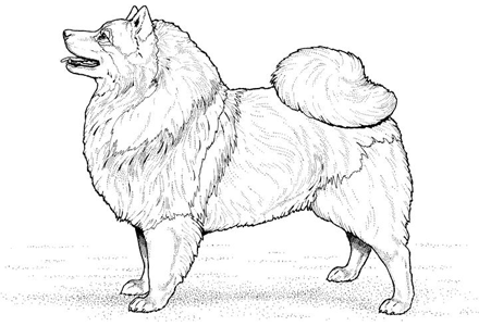 Airedale Terrier Coloring Page American Eskimo Dog
