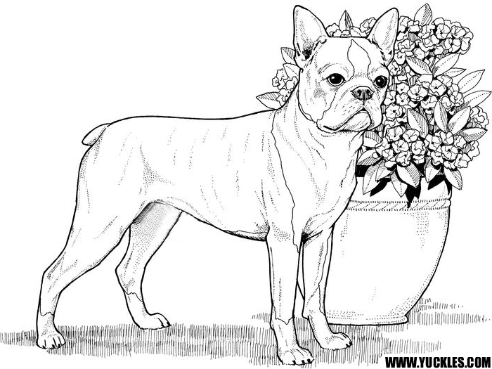 Boston Terrier Coloring Page by YUCKLES!