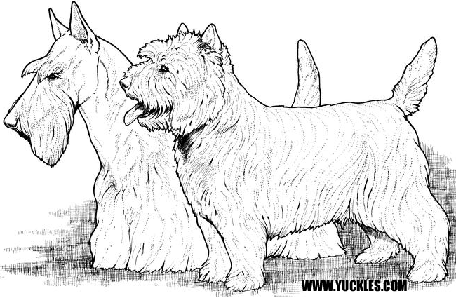 Cairn Terrier Coloring Page by YUCKLES