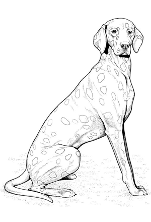 Show More Images Labradoodle AOL Image Search Results. Pointer Animal  Coloring Pages.