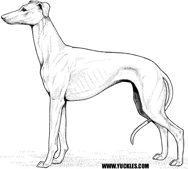 greyhound coloring page - Shih Tzu Coloring Pages