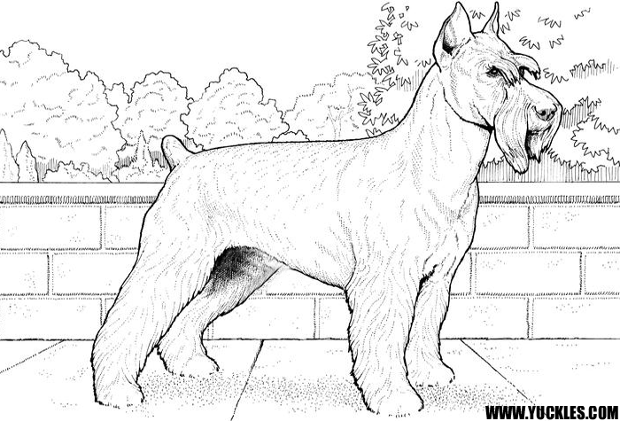 schnauzer coloring page - Boston Terrier Coloring Page