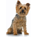 Silky Terrier Greeting Cards