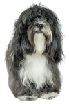 Tibetan Terrier Greeting Cards