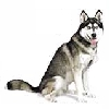 Siberian Husky Greeting Cards
