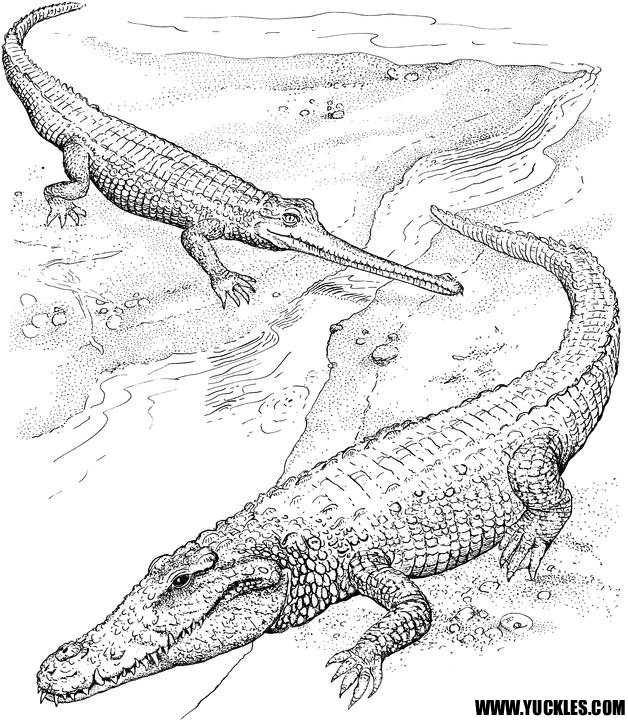 coloring pages for reptiles alligators - photo#5