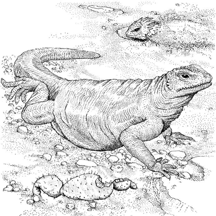 Komodo Dragon Coloring Page