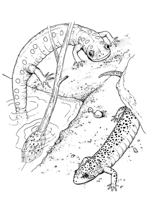 Gila Monster Coloring Page Coloring Pages Gila Coloring Page